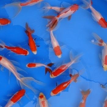 "4"" Fantail Sarasa Goldfish- 18 ct"