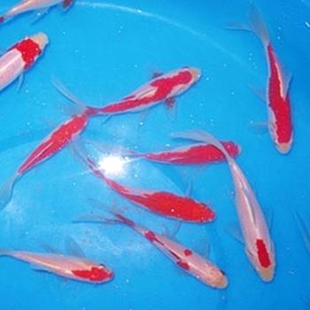 "4"" Mixed Goldfish - 18 ct"