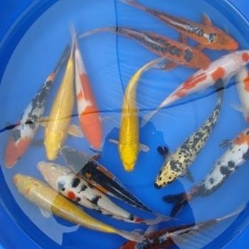Pond supplies pond liner water garden supplies 12 decorative butterfly koi 1 ct - Decoratie kooi ...