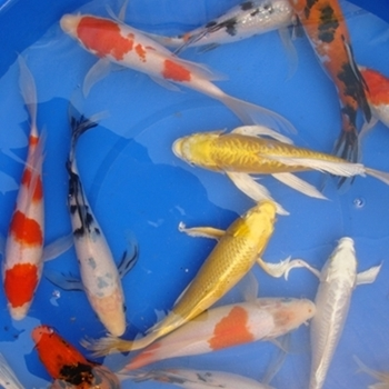 "10"" Select Butterfly Koi - 2 ct"