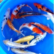 "12"" Select Koi - 1 ct"