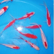 Picture for category Sarasa Comet Goldfish