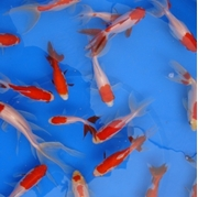 Picture for category Fantail Sarasa Goldfish